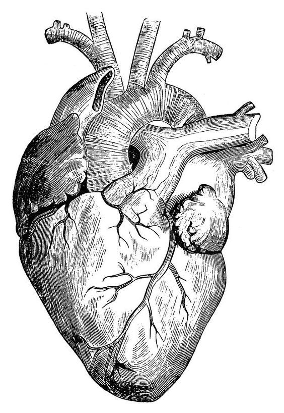 Resultado de imagem para coração humano de verdade desenho