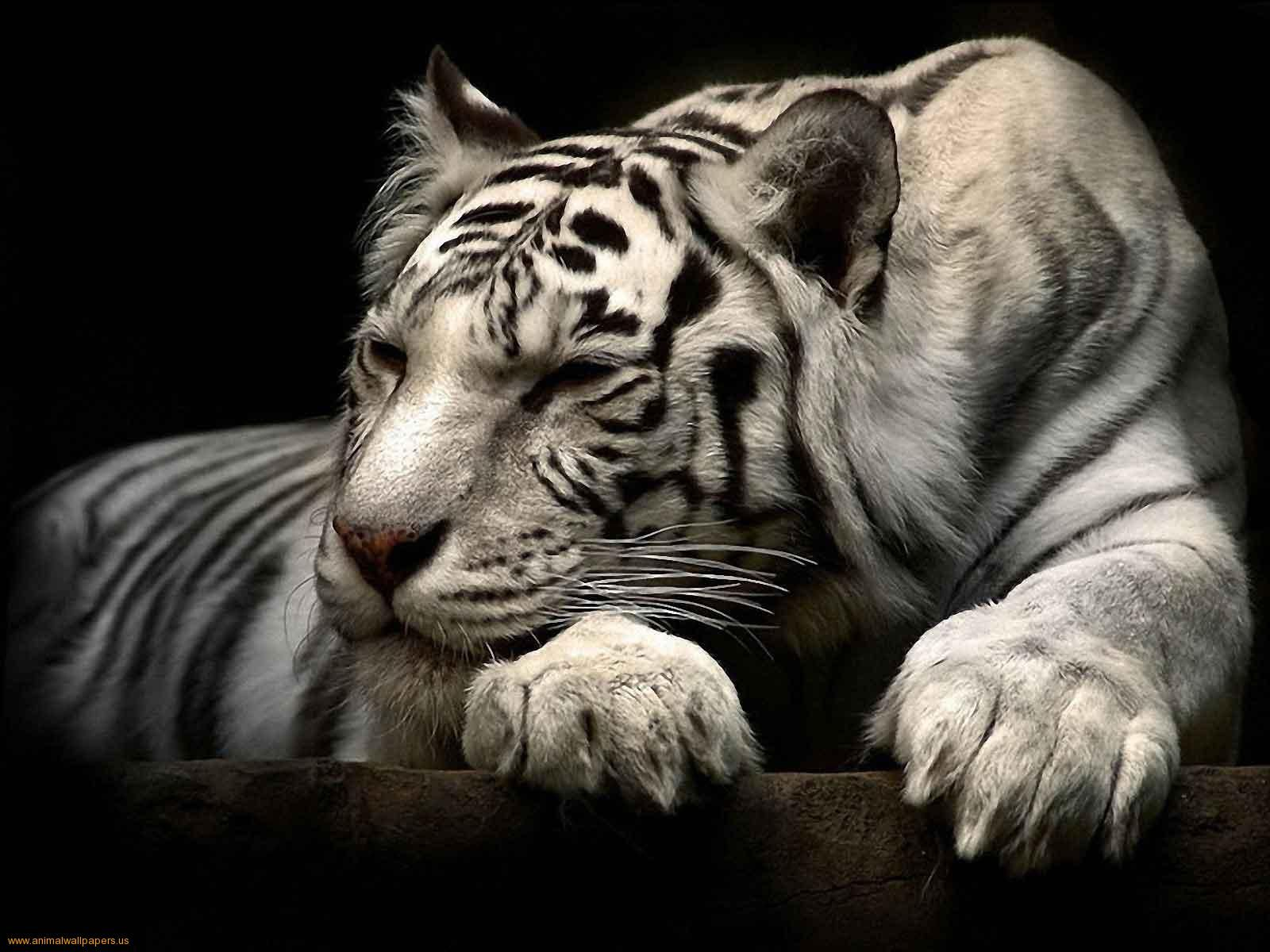 when stressed or confused, all white tigers cross their eyes