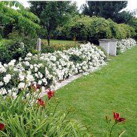 Flower Carpet Roses - Flower Carpet WHITE - Anthony ...