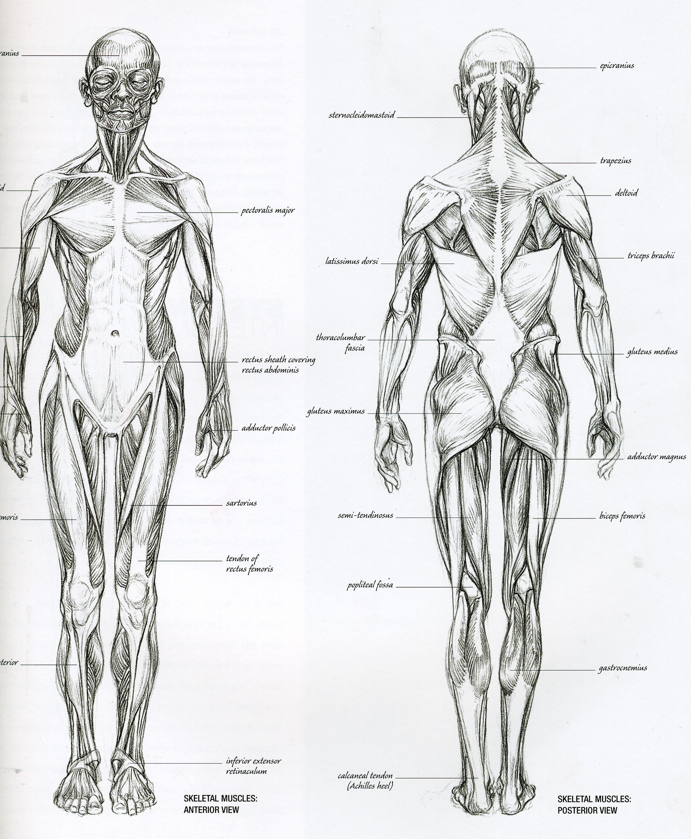 Back Anatomy Reference Images