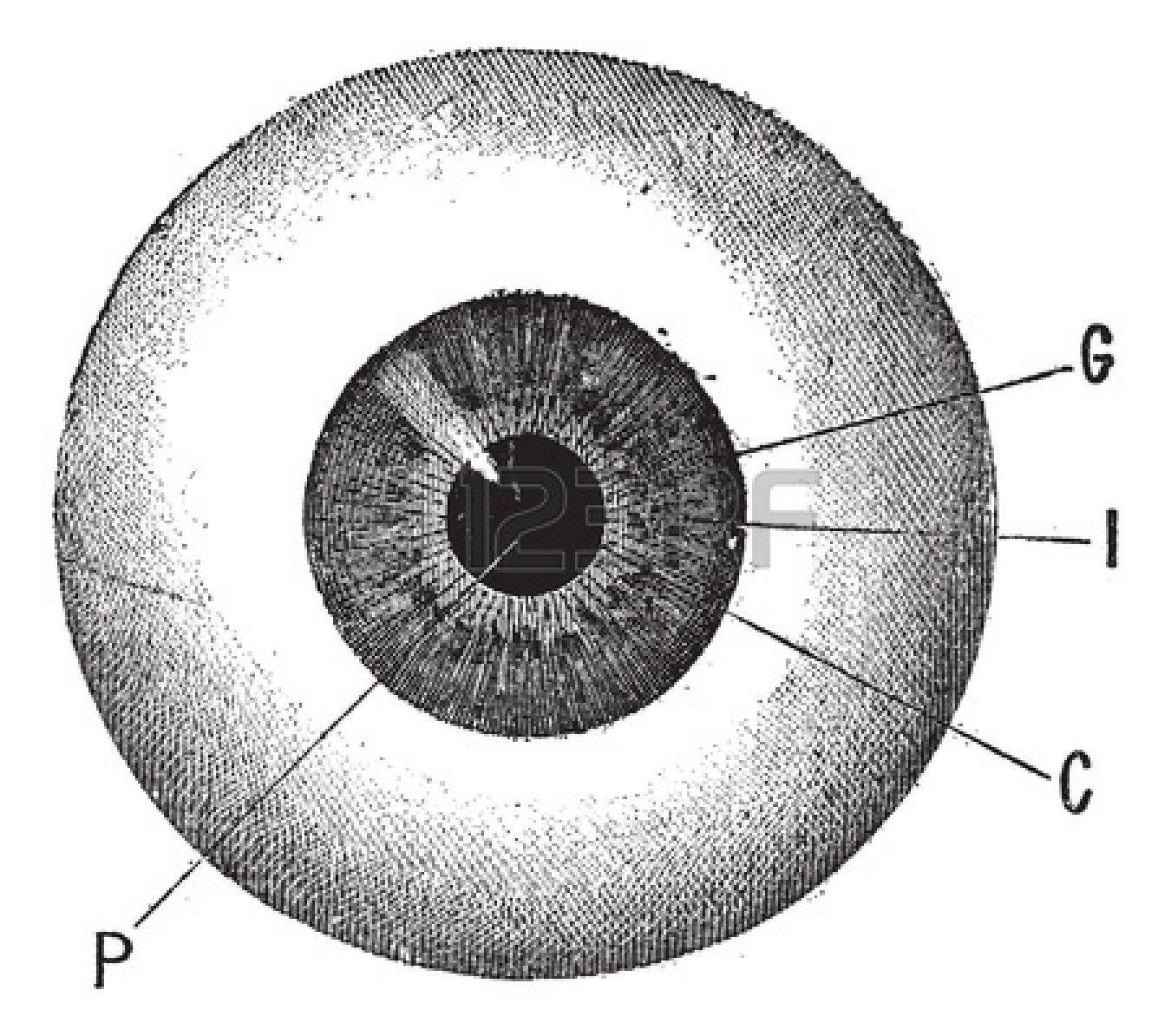 eye anatomy vintage diagram weg motor wiring 3 phase google search bcy24 publicity