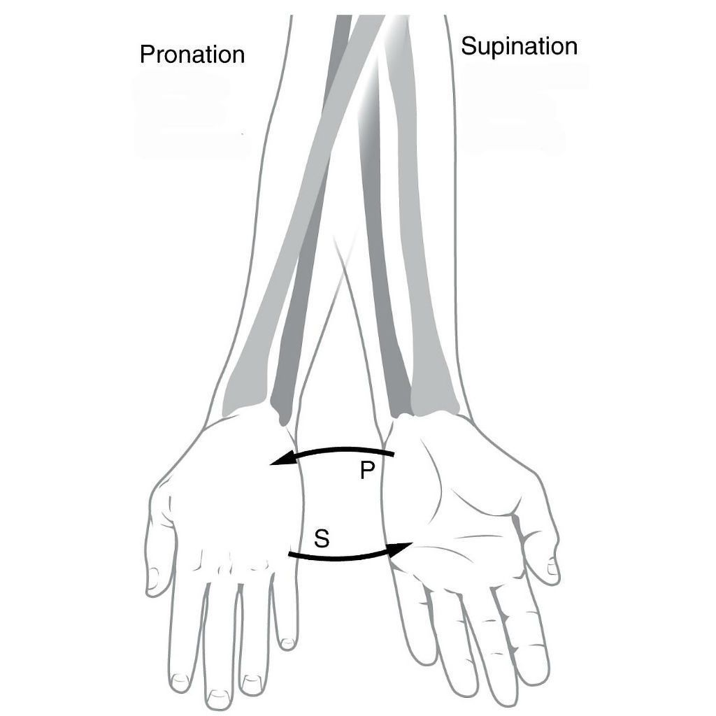 The Anatomic Position Also Referred To As The Standard