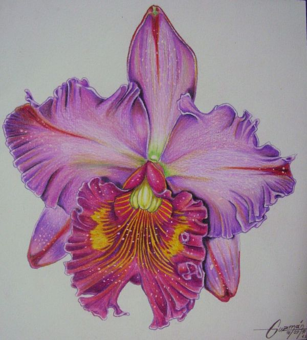Orchid. Colored Pencils Durex Geller 20 Cms 2010 . Drawing Orchid Color