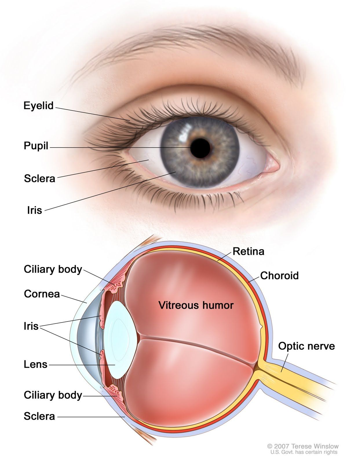 human eye diagram simple 3 phase wiring for dummies of the eyes chart teaching stuff pinterest