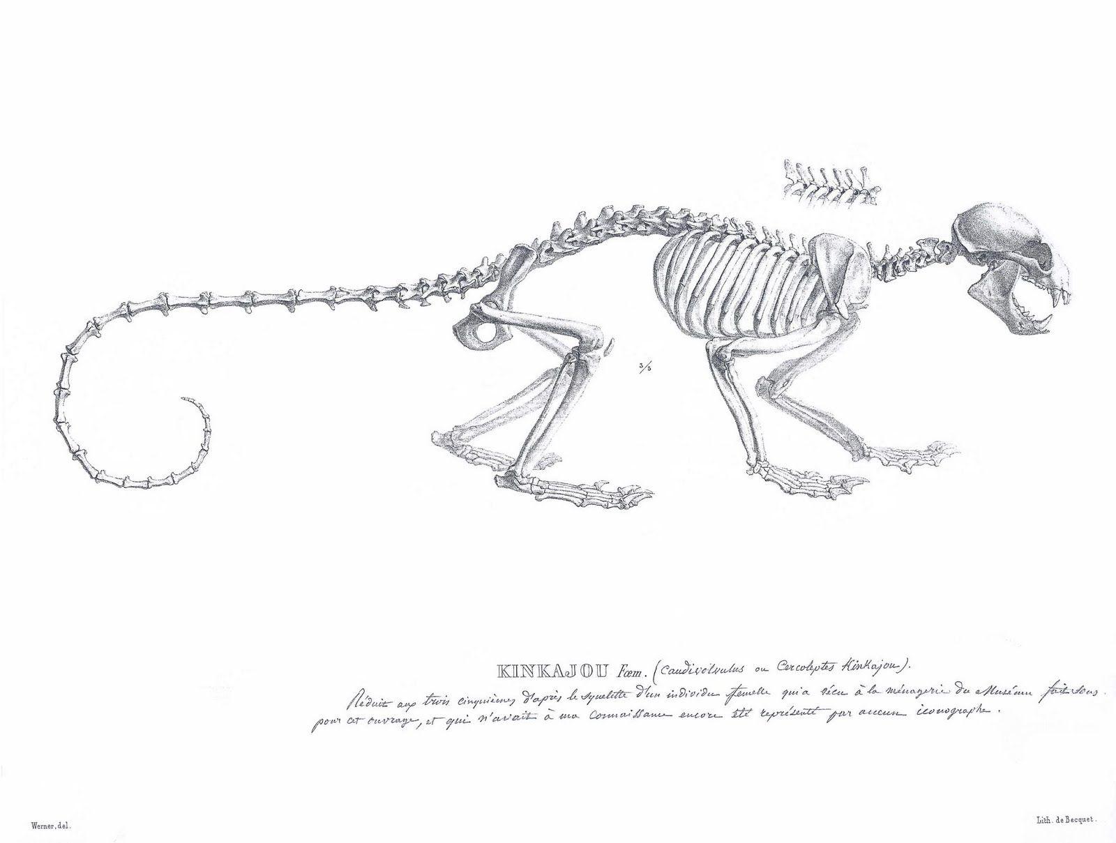 Kinkajou Skeleton