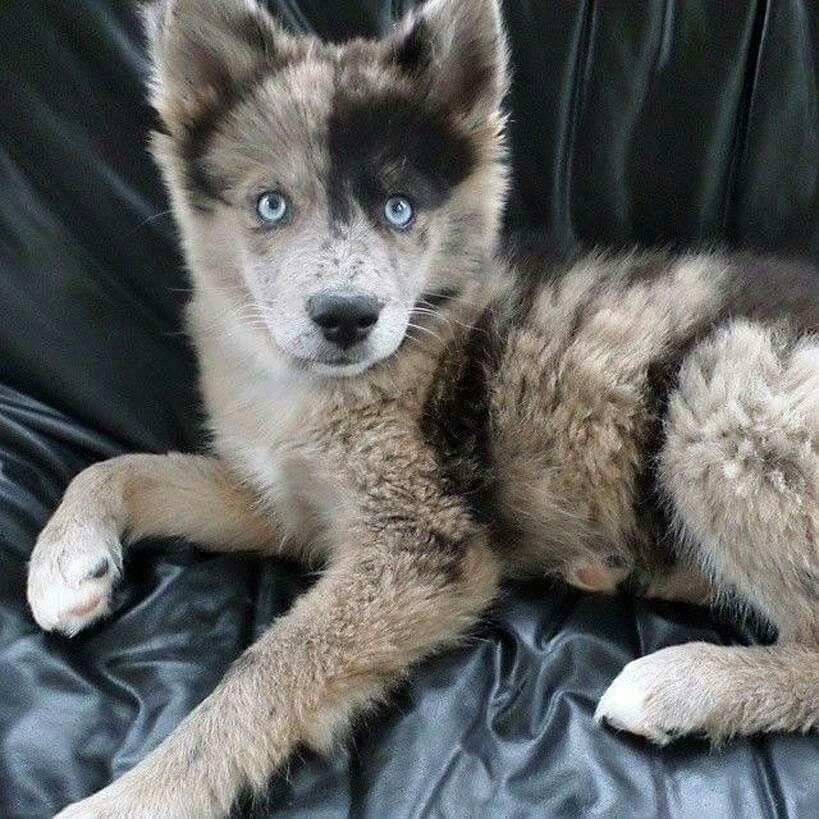 Blue Heeler Lab Mix Puppies Sale