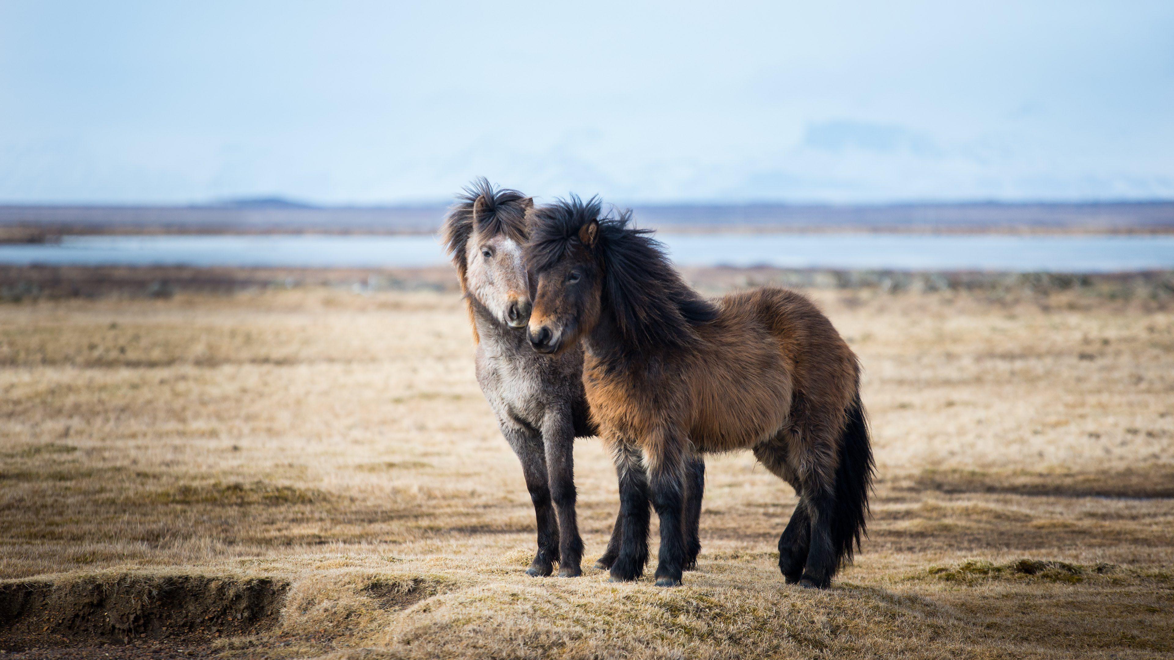 Horse Breeds - Icelandic Horse