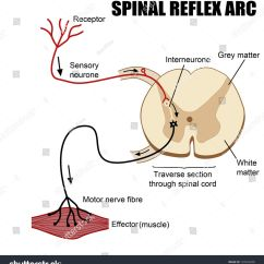 Diagram Of A Simple Reflex Arc 2005 Cobalt Ss Radio Wiring Spinal Neuroscience Central Nervous System
