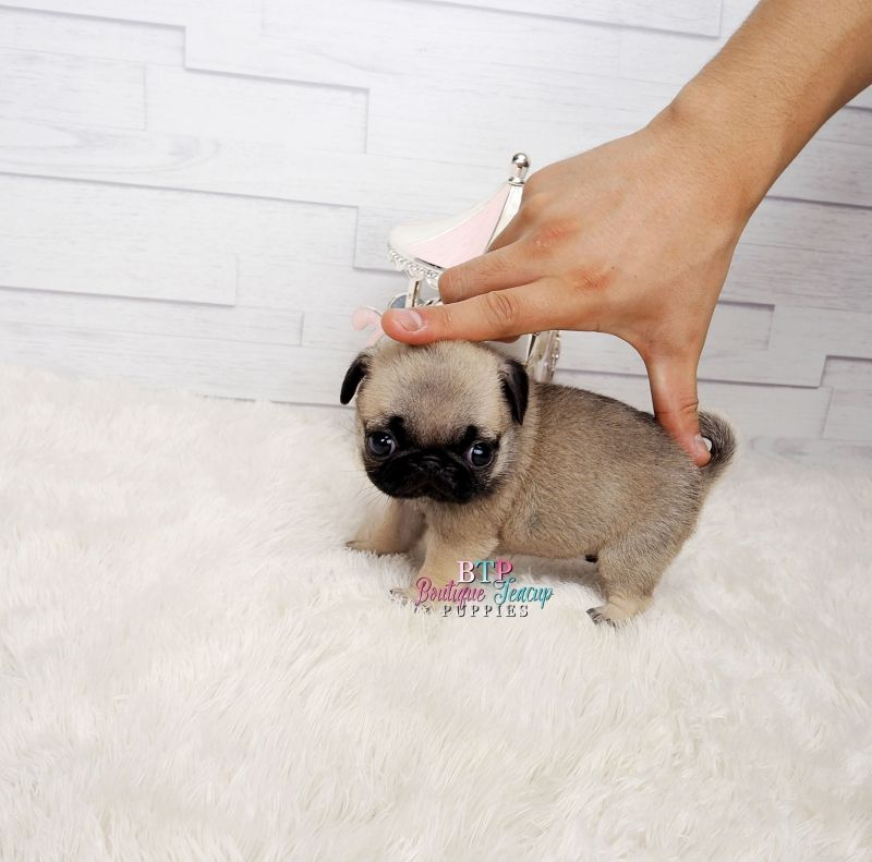 Sale Baby Teacup Pugs