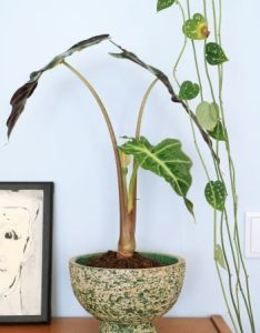 Retro bloempot berkenbast also pilea peperomioides more chinese money plant and rh pinterest