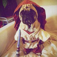 Master Jedi | Costumes, Dog and Pug costume