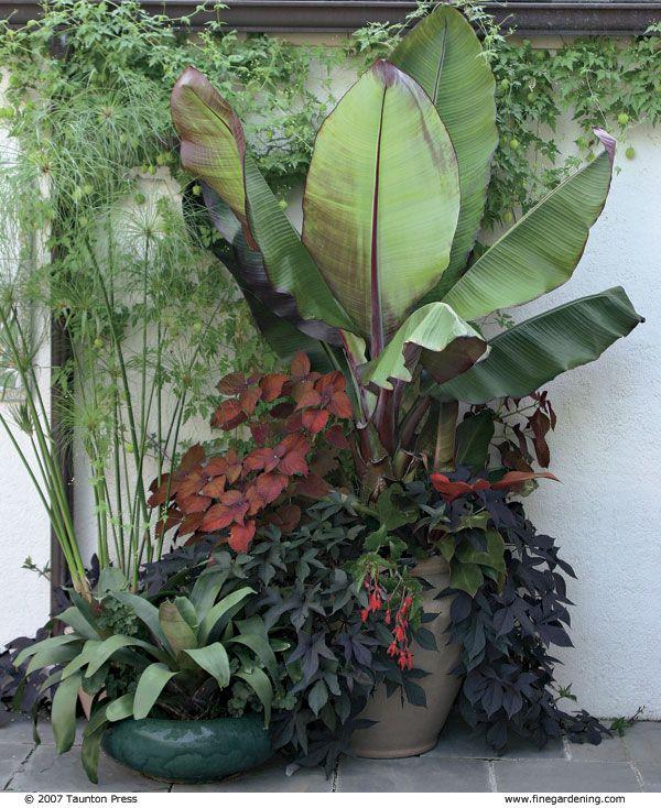 patio chair feet black glider best 25+ banana plants ideas on pinterest | how to grow bananas, fruit world and tree