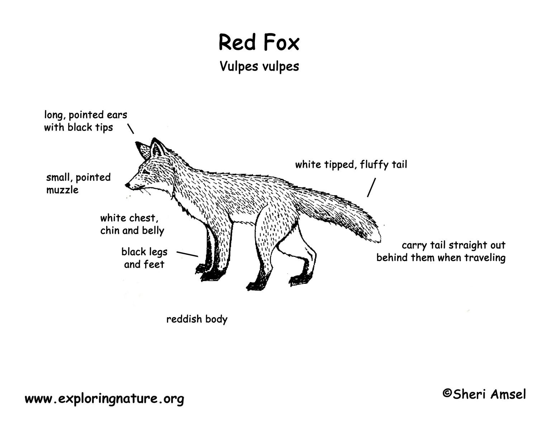 Fox Red Bw Diagram150