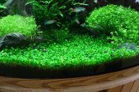 5 of the Best Carpet Plants for Freshwater Custom ...