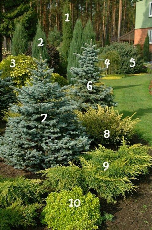 1. juniperus communis 'stricta'