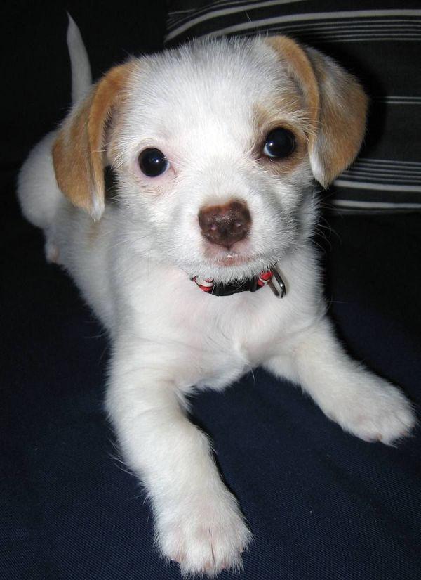Full-grown Beagle Dachshund Mix Zoey X Chihuahua 6706 Crafts