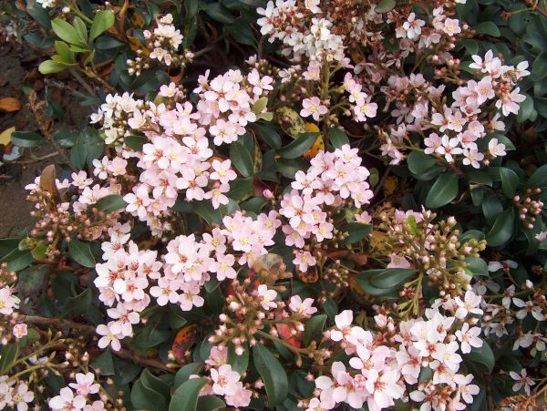 Growing small flowering shrubs vtwctr small flowering shrubs with pink flowers mightylinksfo