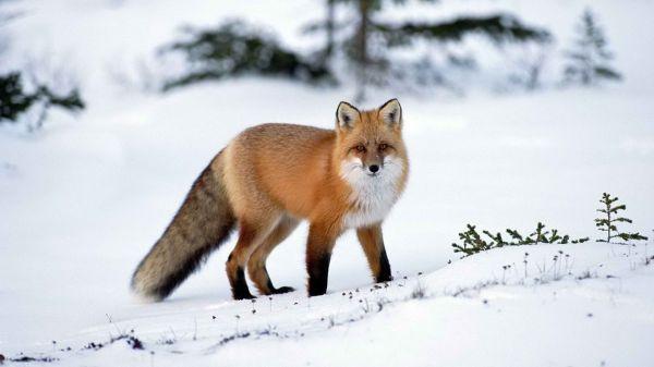 3072x3072 Pixels Fox Imgurl