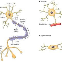 Multipolar Neuron Diagram Labeled Honeywell Aquastat Wiring Illustrations Of A Typical And The Glial Cells