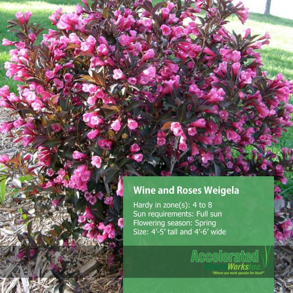 20 Dwarf Weigela Wine And Roses Pictures And Ideas On Meta Networks