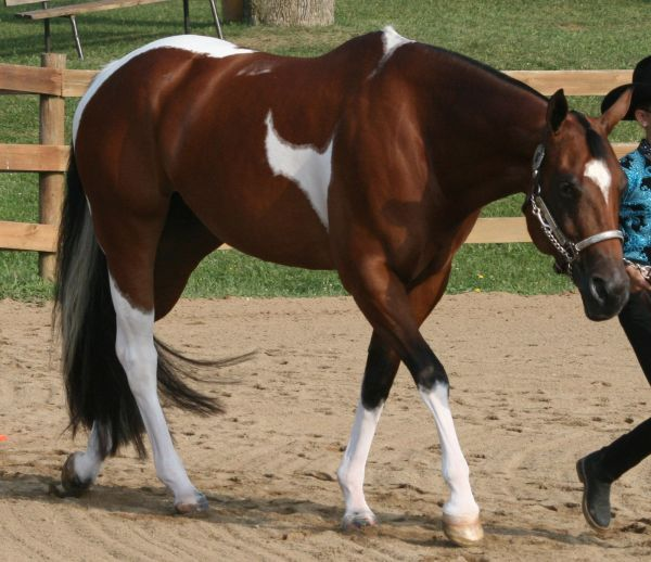Tricolored Paint Quarter Horse Always catches my eye