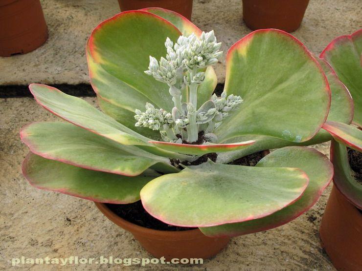 カランコエ 紅唐印錦 Kalanchoe thyrsiflora f.variegata|多肉植物図鑑 ...