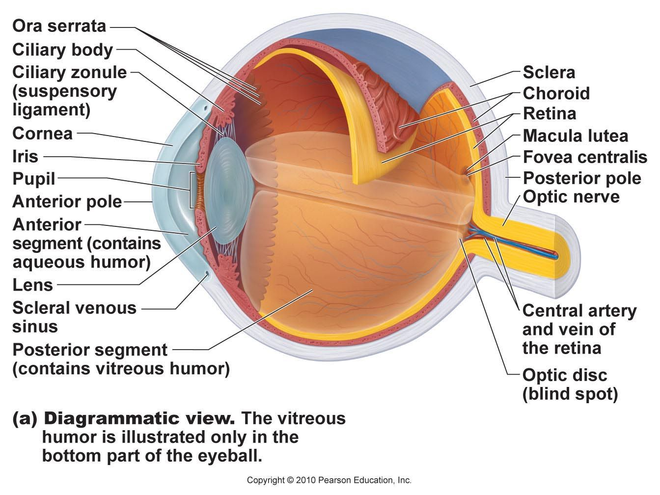 Eye Model Labeled Bing Images Biology Pinterest