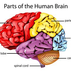 Human Brain Diagram Cerebrum 220v Generator Plug Wiring The Frontal Lobes Are Parts Of That Control