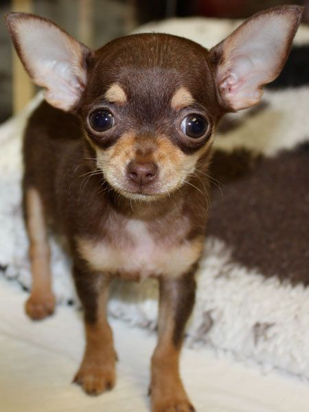 Female Chihuahua Puppy Chocolate and Tan chihuahua