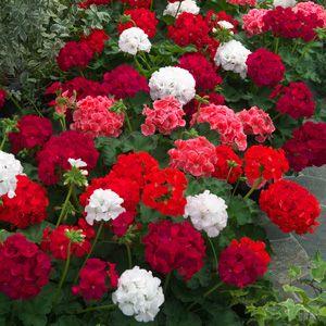 Love My Martha Washington Geraniums Gardening Pinterest Love