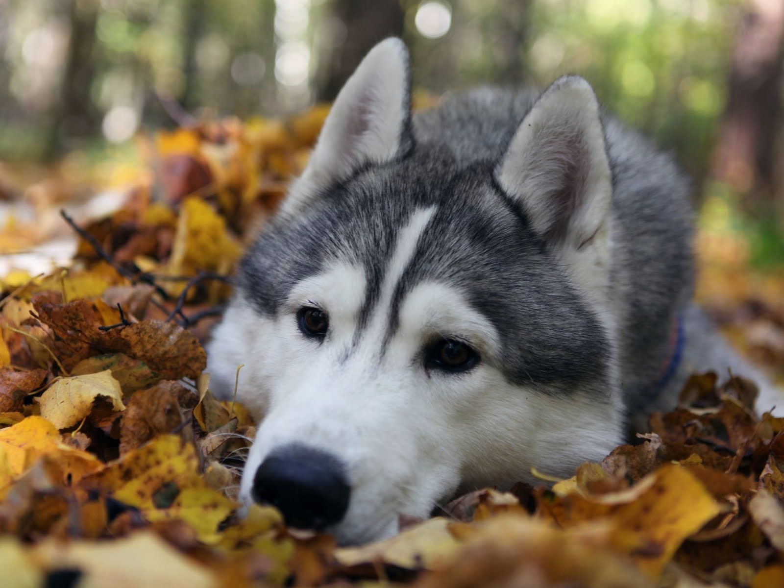 funnywolfpictures | siberian husky wolf hd wallpapers download