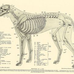 Skunk Skeleton Diagram Trailer Brake Wiring Ford F250 Vintage 1935 Dog Veterinary Print Of Anatomy