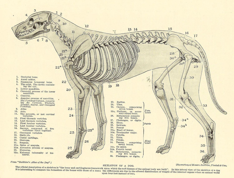 dog bone diagram wiring for aprilaire 700 humidifier vintage 1935 veterinary print skeleton of anatomy