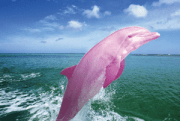incredible pink dolphin