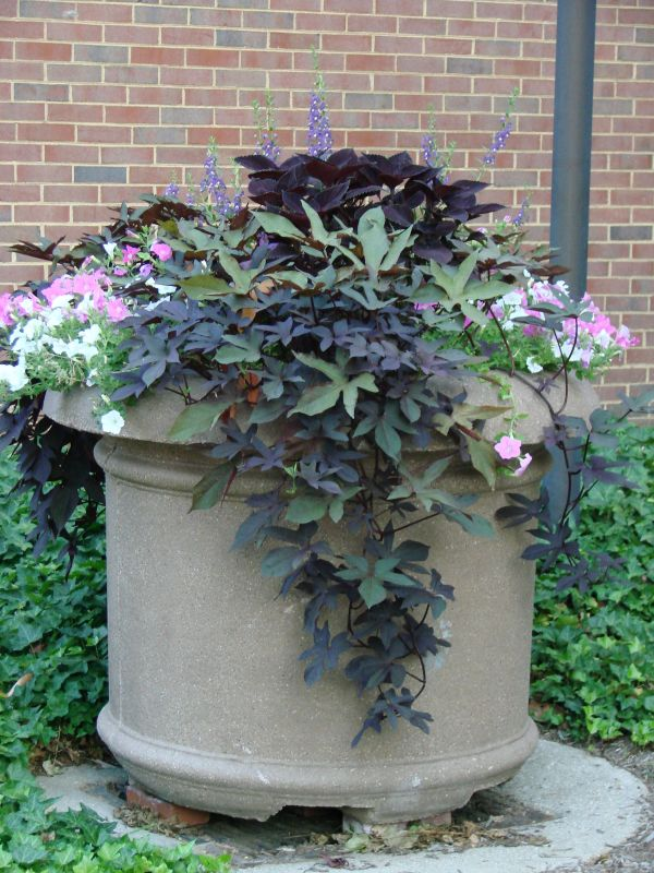Purple Sweet Potato Vines and Petunias