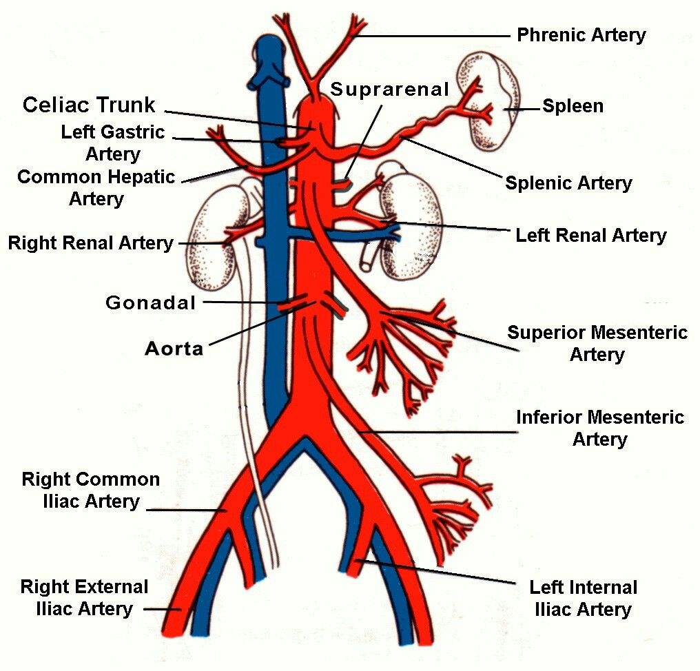 branches branching tree diagram wye delta starter wiring abdominal aorta_02 (note: inferior phrenic artery from aorta & superior ...