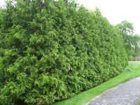 thuja green giant for privacy   garden ideas   Pinterest ...