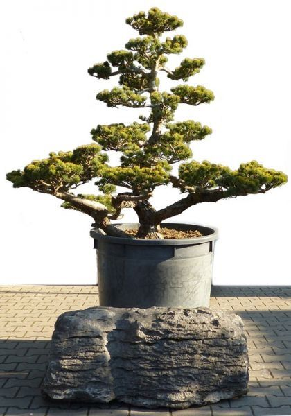 Bonsai De SHOP Gartenbonsai Kiefer Kiefer15 Gartenbonsai