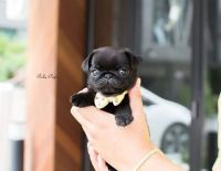 Queeny Teacup BLACK PUG Female is here@rollyteacuppuppies ...