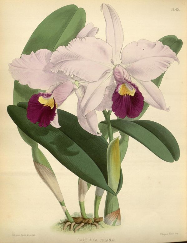 1882 - Orchid Album Biodiversity Heritage Library Botanical Garden 1