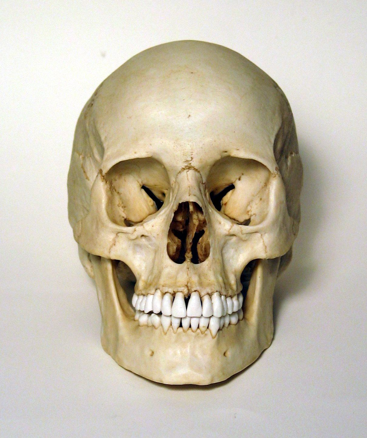 Female Human Skull Frontal View Photo