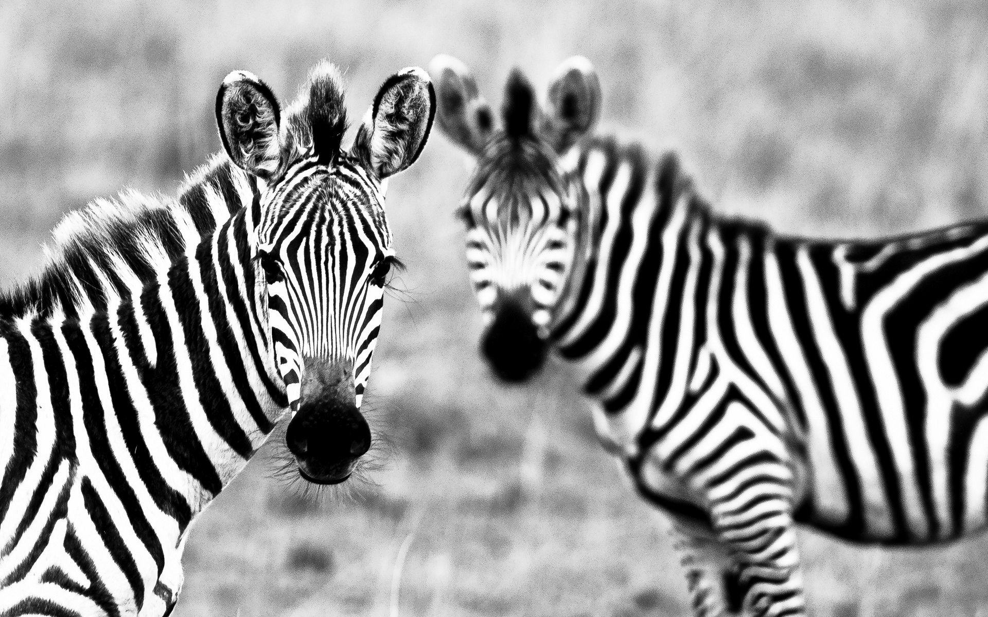 watching ( #zebras #ebonyandivory #animals ) | h u m Λ n