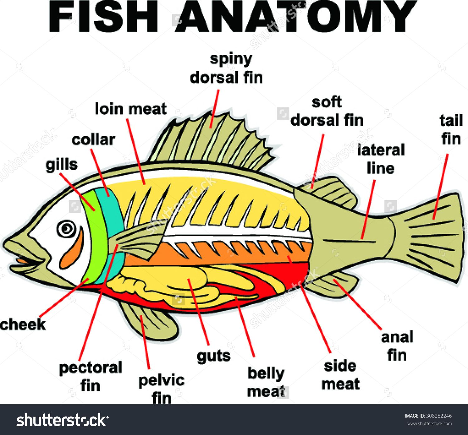 Fish Anatomy Vector Illustration Stock Vector