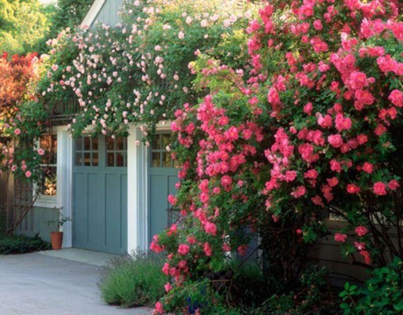 Rose Garden Ideas William Baffin Climbing Rose Landscaping