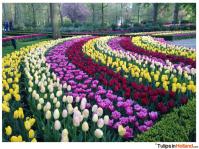 Rainbow of tulips in Keukenhof Garden in Holland ...
