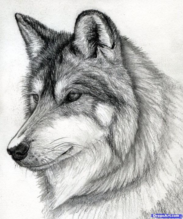 Cool Drawings Of Wolf Nice