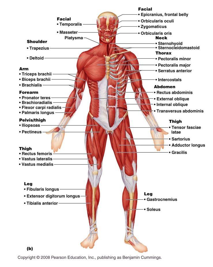 Único Human Anatomy And Physiology Marieb Quizzes Ideas - Anatomía ...