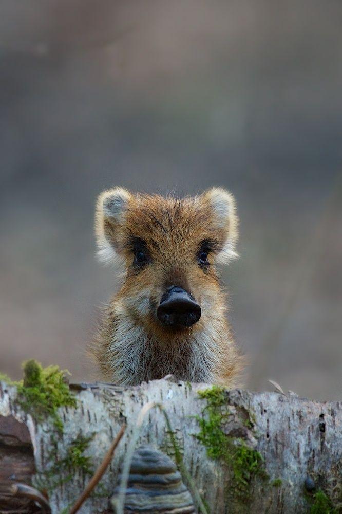 Die besten 25 Wildschwein Ideen auf Pinterest  Jagdbilder Tiere des waldes und Wald