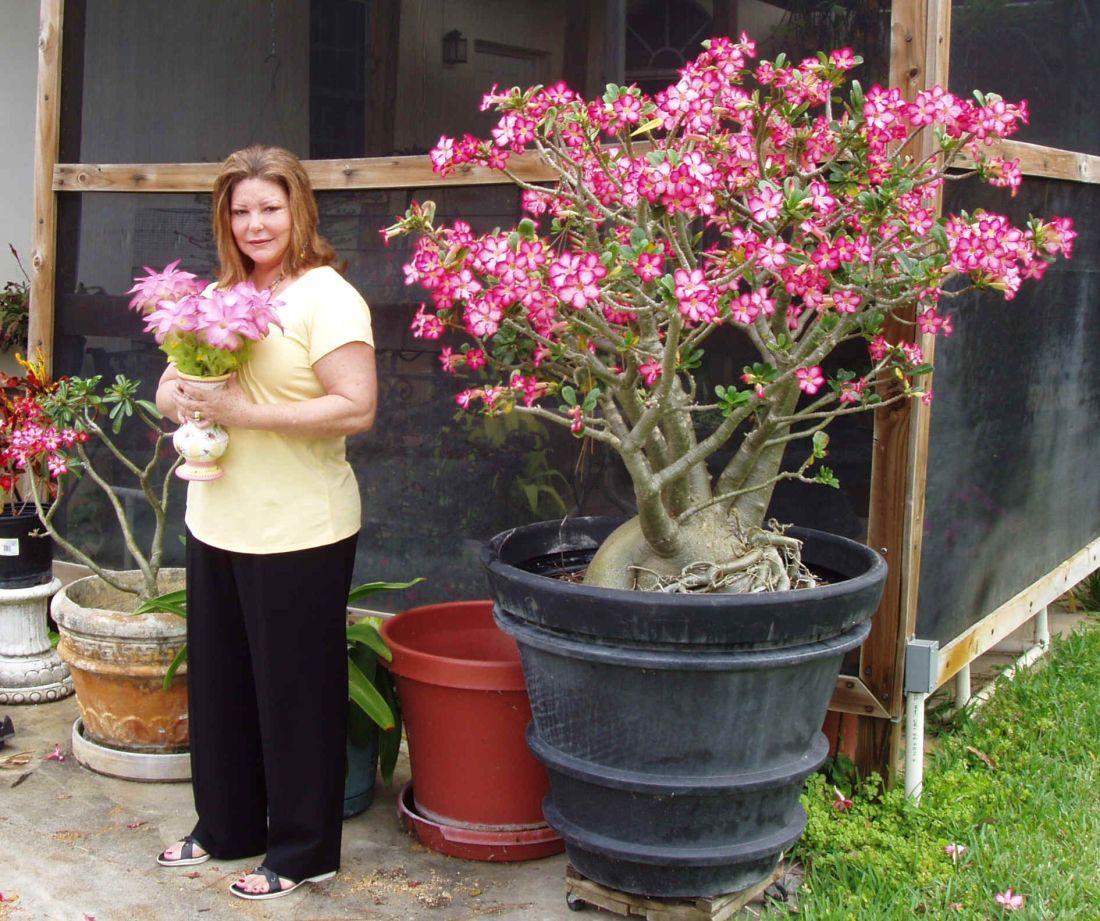 Desert rose bonsai plants pinterest