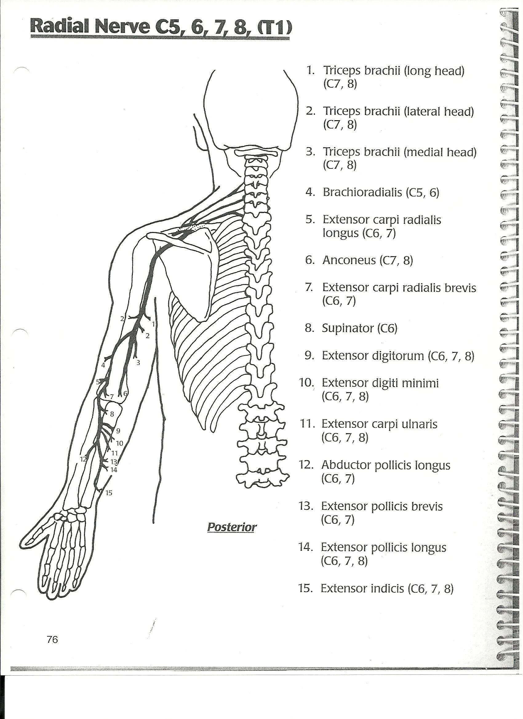 radial nerve diagram carrier split system air conditioner wiring ot anatomy on pinterest girdles carpal tunnel and